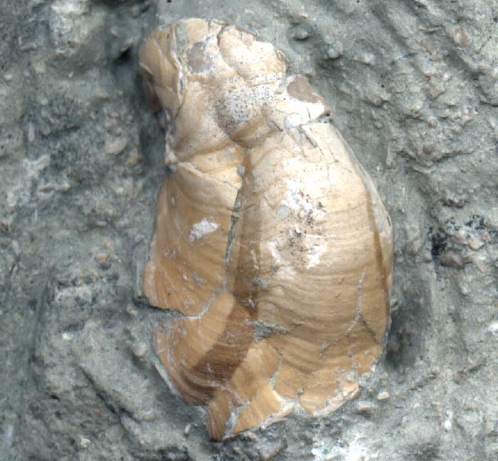gastropod with Color Bands